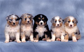 Preview wallpaper Five small shepherd dogs, furry puppies