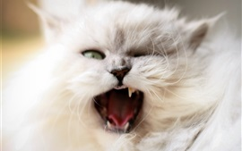 Fluffy white cat yawn, face, mouth