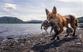 Preview wallpaper Fox hunting, lake, stones
