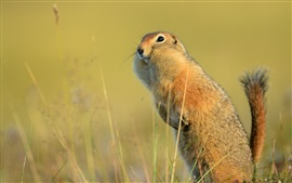 Funny animal, American gopher, tail