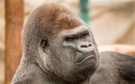 Preview wallpaper Gorilla head close-up