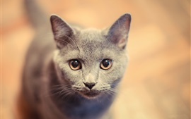 Preview wallpaper Gray kitty face