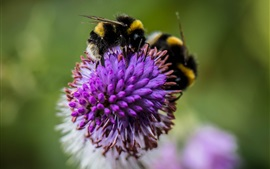 Preview wallpaper Insect, bumblebee, flower