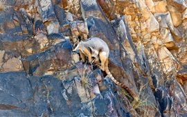 Preview wallpaper Kangaroo climbing cliff