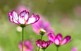 Kosmeya flores, roxo branco pétalas