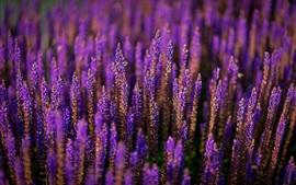 Aperçu fond d'écran Champ de fleurs de lavande, style violet