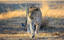Léopard, africaine, savane, prédateur, sauvage, chat