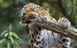 Preview wallpaper Leopard biting the wood