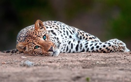 Preview wallpaper Leopard lying on the ground to rest