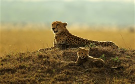 Preview wallpaper Leopard rest, mother and cubs