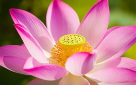 Preview wallpaper Lotus, pink petals, flowers macro photography