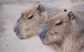 Preview wallpaper Lovely animal, capybaras