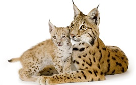 Lynx mother and cub, white background