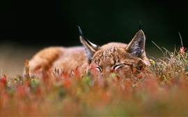 Lynx sleep on grass