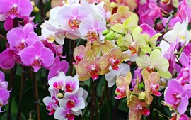 Preview wallpaper Many kinds phalaenopsis, colorful flowers