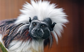 Marmoset, white hair