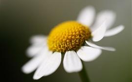 Una flor de margarita, pétalos blancos