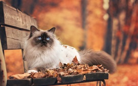 Preview wallpaper Persian cat on the autumn bench