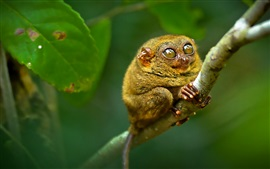 Preview wallpaper Philippine tarsier, monkey