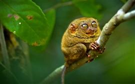 필리핀 안경 원숭이, 원숭이