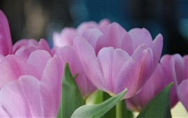 Preview wallpaper Pink tulip flowers, petals, blurry background