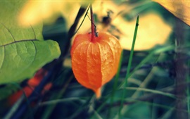 Preview wallpaper Plants close-up, physalis, Chinese lantern tree