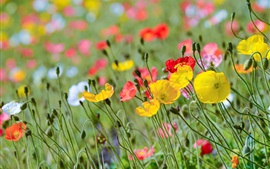 Preview wallpaper Poppy flowers field, red yellow pink