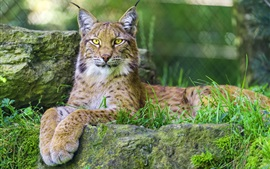Predator lynx, yellow eyes, paws, rest