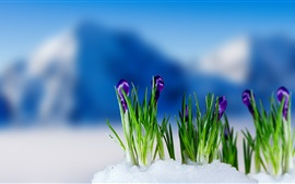 Preview wallpaper Purple crocuses flowering, snow, spring, blur background