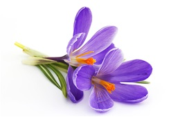 Preview wallpaper Purple crocuses, white background