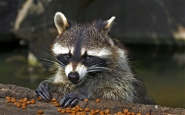 Raccoon, face, food