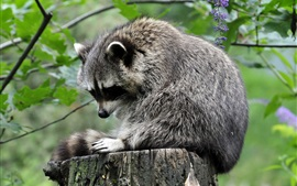 Raccoon standing at stump