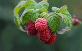 Raspberry, red berries, twigs, leaves