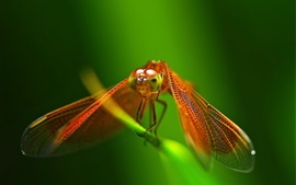 Red dragonfly close-up, wings, green background
