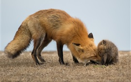 Red fox and cub
