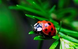 Joaninha vermelho, grama, fundo borrão