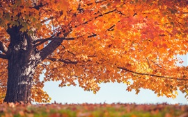 Preview wallpaper Red leaves tree, autumn