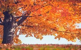 Rouge, feuilles, arbre, automne