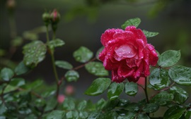 Preview wallpaper Red rose after rain