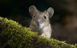 Roedor, ratón, musgo