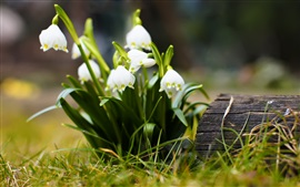 Snowdrops, flores blancas, hierba, bokeh