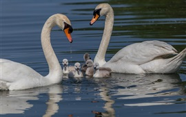 Preview wallpaper Swan family, water