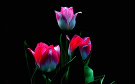 Preview wallpaper Three pink tulips flowers, stem, leaves, black background