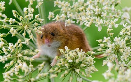 Preview wallpaper Tiny mouse in the flowers