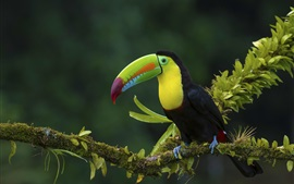 Preview wallpaper Toucan, tree