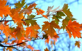Twigs, maple leaves, autumn