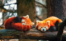 Preview wallpaper Two red foxes sleep in the tree