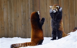 Preview wallpaper Two red pandas take hands up