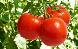Vegetables garden, red tomatoes, water droplets
