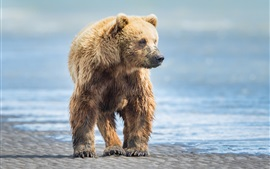 Wet brown bear